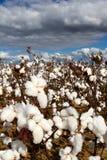 Campo do algodão Imagens de Stock