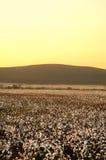 Campo do algodão no por do sol fotos de stock royalty free