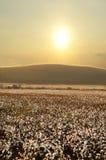 Campo do algodão no por do sol imagem de stock