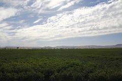 Campo do algodão que está sendo irrigado Imagens de Stock