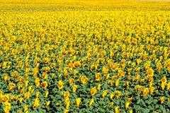 Campo do amarelo foto de stock