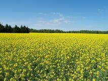 Campo do amarelo Imagem de Stock Royalty Free