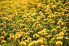 Campo do amarelo Imagens de Stock Royalty Free