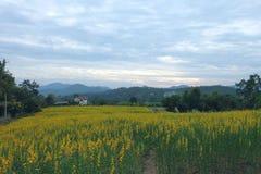 Campo do amarelo do cânhamo de Sun Imagens de Stock Royalty Free