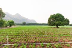 Campo do amendoim no kanchanaburi Fotografia de Stock