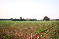Campo do amendoim no kanchanaburi Imagem de Stock