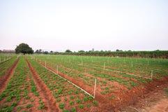 Campo do amendoim no kanchanaburi Fotografia de Stock Royalty Free