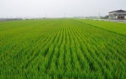 Campo do arroz fotos de stock royalty free