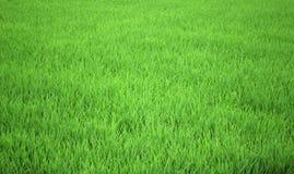 Campo do arroz Foto de Stock