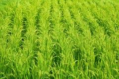 Campo do arroz Fotografia de Stock