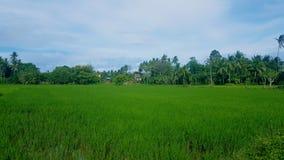 Campo 2 do arroz Foto de Stock