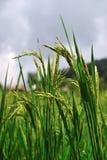 Campo do arroz Fotos de Stock
