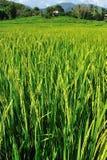 Campo do arroz Imagem de Stock