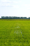 Campo do arroz Fotografia de Stock