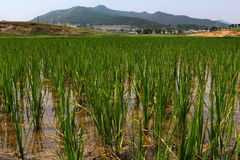 Campo do arroz Imagem de Stock