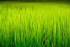 Campo do arroz. Fotografia de Stock Royalty Free