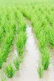 Campo do arroz. Imagem de Stock Royalty Free