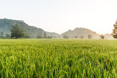 Campo do arroz Imagem de Stock Royalty Free