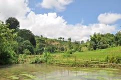 Campo do arroz. Imagens de Stock