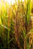Campo 02 do arroz Foto de Stock