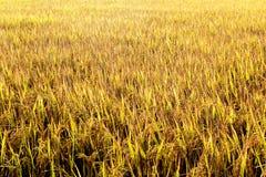 Campo 03 do arroz Imagens de Stock Royalty Free