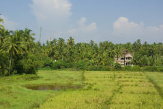 Campo do arroz Fotografia de Stock Royalty Free