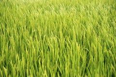 Campo 1 do arroz Fotos de Stock