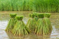 Campo do arroz, campo de almofada de Ásia Foto de Stock Royalty Free