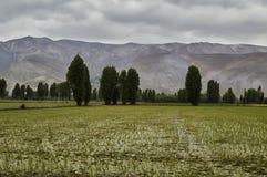 Campo do arroz, campos Foto de Stock