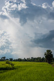 Campo do arroz com céu nebuloso Imagens de Stock Royalty Free