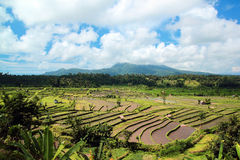 Campo do arroz com fundo da montanha Imagens de Stock
