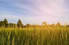 Campo do arroz com nascer do sol Imagens de Stock Royalty Free