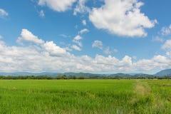 Campo do arroz com o céu azul bonito em Phichit, Tailândia Foto de Stock Royalty Free