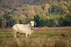 Campo do arroz com a vaca no campo de Tailândia Imagens de Stock Royalty Free