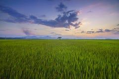 Campo do arroz, comuna de Luong Ninh, Quang Binh Province, Vietname foto de stock
