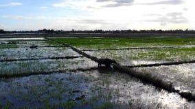 Campo do arroz da ilha de Micronésia imagens de stock royalty free