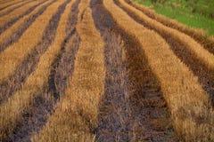 Campo do arroz da queimadura após a colheita imagem de stock
