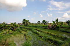 Campo do arroz de Bali Fotos de Stock Royalty Free