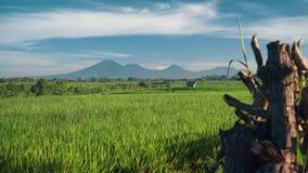 Campo do arroz de Canggu com o vulcão de Batur da montagem no fundo vídeos de arquivo