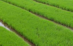 Campo do arroz de Grean Imagem de Stock