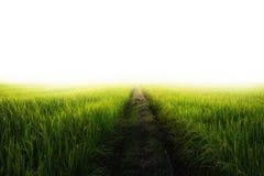 Campo do arroz de um verde com nascer do sol incandescente Fotografia de Stock Royalty Free