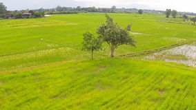 Campo do arroz do tiro e Mountain View aéreos vídeos de arquivo