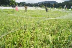 Campo do arroz em Bali, Indonésia imagens de stock royalty free