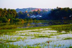 Campo do arroz em Goa, Índia no por do sol Foto de Stock Royalty Free