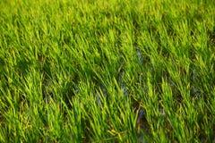 Campo do arroz em india Imagens de Stock