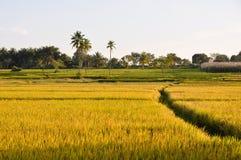 Campo do arroz em Karnataka (India) foto de stock royalty free
