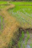 Campo do arroz em Tailândia Fotografia de Stock