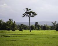 Campo do arroz em Tailândia Imagem de Stock