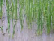 Campo do arroz em Tailândia Fotos de Stock
