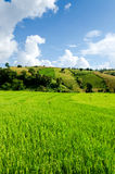 Campo do arroz em terraced Foto de Stock Royalty Free
